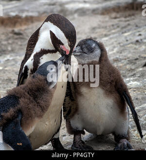 African penguin (Spheniscus demersus) chicks demand feeding from their moth, also known as the jackass penguin and black-footed penguin of Boulders Be - Stock Image