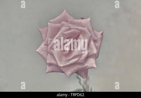 Digitally enhanced image of a perfect Salmon rose head - Stock Image