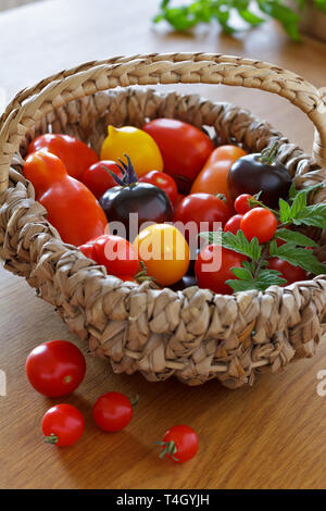 A colorful selection of old tomato varieties in a basket, biological diversity concept - Stock Image