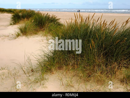 Marram grass growing in young sand dunes on Winterton beach, Norfolk. Marram grass stabilises the dunes and aids sand retention. - Stock Image