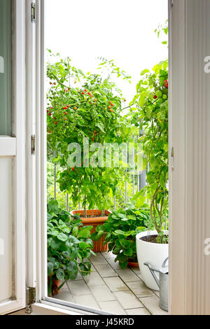 View through an open balcony door on tomato and strawberry plants in pots, copy space - Stock Image