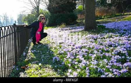 Brighton, UK. 26th Jan, 2019. Gaye Faulkner stops to admire the carpet of crocuses in Preston Park rockery gardens n Brighton as the unusually warm sunny weather continues throughout Britain with some areas forecast to reach over 20 degrees centigrade again Credit: Simon Dack/Alamy Live News - Stock Image