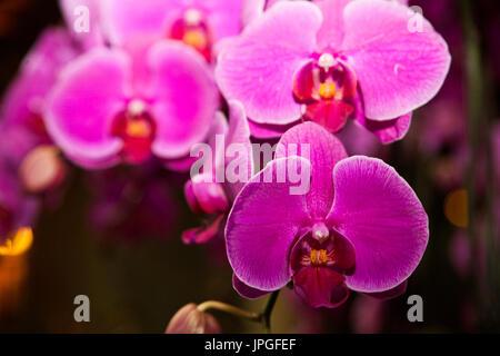 Fuchsia flower - Stock Image