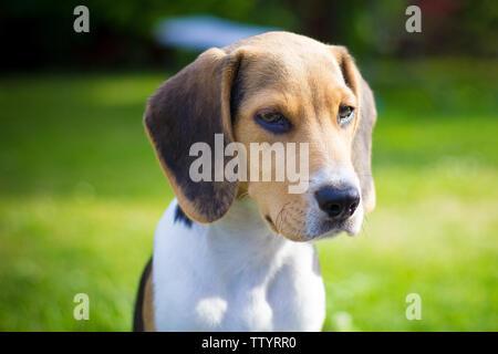 puppy beagle dog portrait - Stock Image