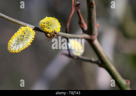 Bee on a willow flower (catkin) spring - Stock Image