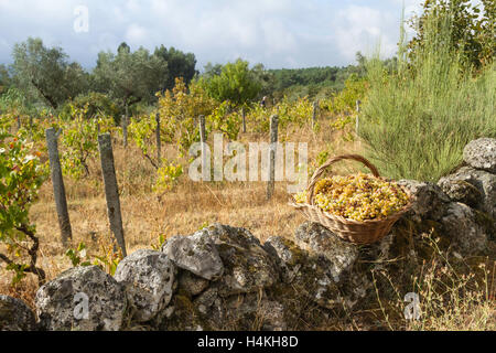 The grape harvest - green grapes in a basket on a wall by a vineyard, Fornos de Algodres - Portugal - Stock Image