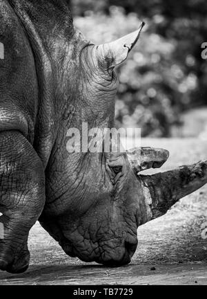 Detailed, close-up side view of a Southern White rhinoceros head (Ceratotherium simum) outside in sunshine. Arty, black & white animal photography. - Stock Image