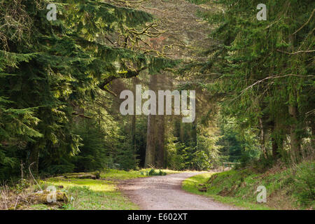 Great Wood in the Quantock Hills, a popular spot for barbecues. - Stock Image