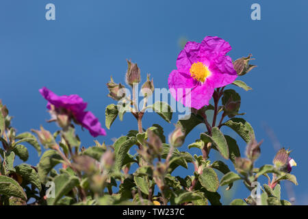 Graubehaarte Zistrose, Graubehaarte Cistrose, Kretische Zistrose, Cistrose, Zistrose, Cistus creticus, Cistus incanus, Cistus villosus, Pink Rock-Rose - Stock Image