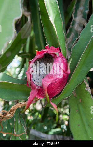 Damage caused by rats to ripe Dragon Fruit (Hylocereus undatus), aka Pitaya blanca or White Dragon Fruit - Stock Image