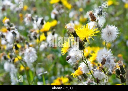 Perennial Sow-thistle (sonchus arvensis), close up of the flowers and seedheads. - Stock Image