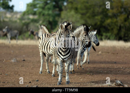 Group of Burchell's Zebras (Equus burchelli. Satara, Kruger Park, South Africa - Stock Image