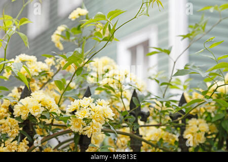 Rosa banksiae Lutea - Lady Banks Rose - April - Stock Image
