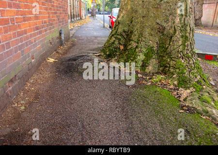 Tree roots causing damage to pavement - tree encroaching on pavement in Cambridge, UK - Stock Image