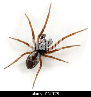 A male (Dictyna arundinacea) spider on a white background. Part of the Family Dictynidae, meshweb weavers. - Stock Image
