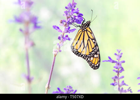 Monarch butterfly Danaus Plexippus resting on a stalk of Salvia - side view - Stock Image