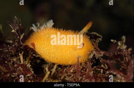 Acanthodoris lutea - Stock Image