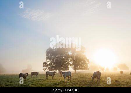 Cows in field, sunrise, Usk Valley, South Wales, UK - Stock Image