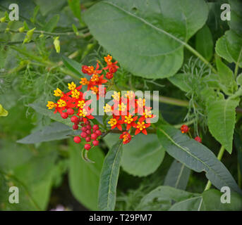 Close up of a Asclepias Silky Deep Red in a flower border - Stock Image