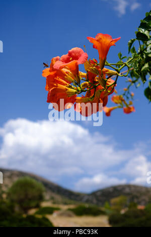 Cluster of Red n orange Campsis Radicans ( trumpet vine ) of the family Bignoniaceae with a busy bee hovering. Saronida, East Attica, Greece, Europe. - Stock Image
