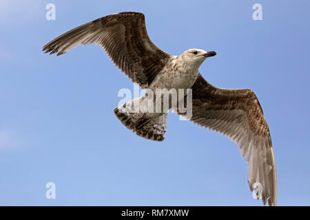 A gull is flying in a calm flight. This is seen against the background of the blue sky in Kolobrzeg, Poland. - Stock Image