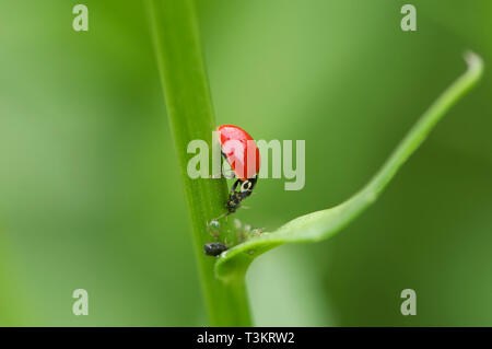 An Asian Lady Beetle (Coccinellidae) eating aphids on a plant stem. - Stock Image