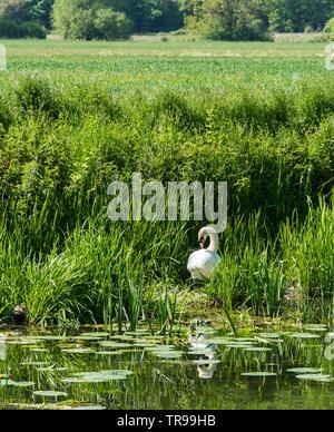 Mute swan on nest at edge of river Cam Baits Bite Lock Milton 2019 - Stock Image