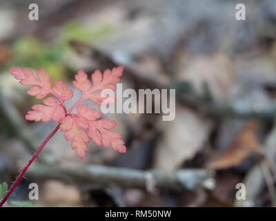 Red fern in autumn - Stock Image
