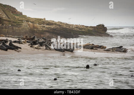 Grey Seals, Halichoerus grypus on Coquet Island of Amble on the Northumberland coast. - Stock Image