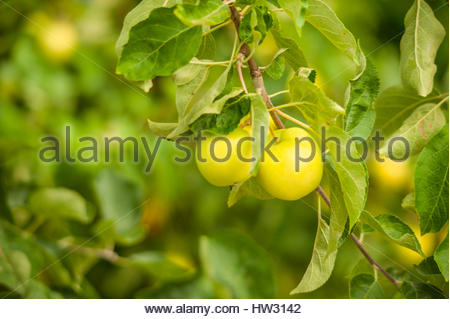 Organic and juicy apples in the garden - Stock Image