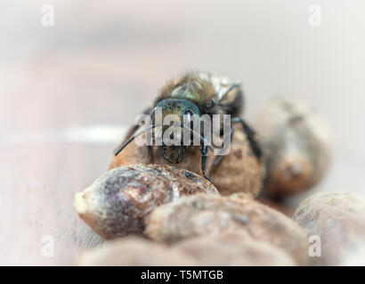 Female Mason bee (Osmia Lignaria) on top of bee pods - front view - Stock Image