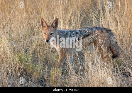 Coyote, Africa - Stock Image