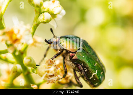 Closeup of Goldsmith beetle - Cetonia aurata - on a beautiful flower - Stock Image