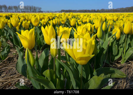 Traditional Dutch tulip field with  yellow flowers - Stock Image