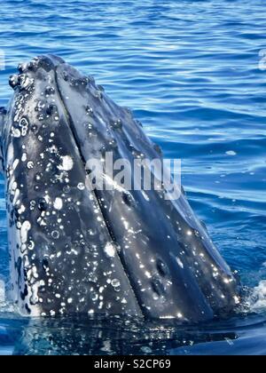Wild Humpback whales, Hervey Bay, Queensland - Stock Image