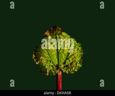 Young Rhubarb leaf on a dark green background - Stock Image