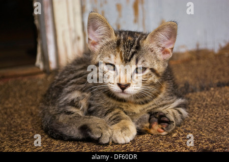 Relaxed tabby kitten curled up in front of rustic wall - Stock Image