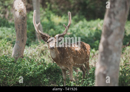Portrait of a spotted deer, Bandipur Forest, India - Stock Image
