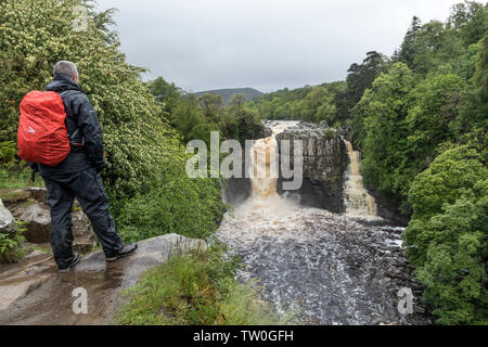 Walker in the Rain Enjoying the View of High Force in Flood Conditions, Upper Teesdale, County Durham UK - Stock Image