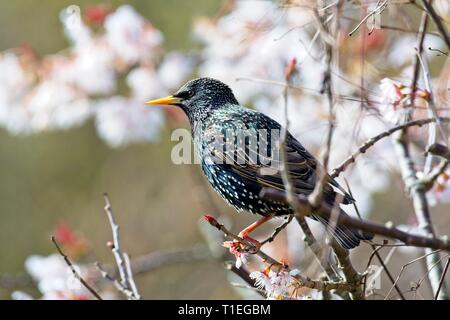 Hailsham, UK. 26th Mar, 2019. UK weather. A Starling (Sturnus vulgaris) perches among Cherry blossom this morning in Hailsham, East Sussex, UK. Credit: Ed Brown/Alamy Live News - Stock Image