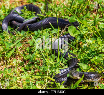 A female black rat snake, lying in grass, watching camera. - Stock Image