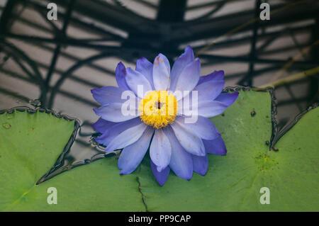 Blue Nymphaea Kews Stowaway Blues Waterlily Flower - Stock Image