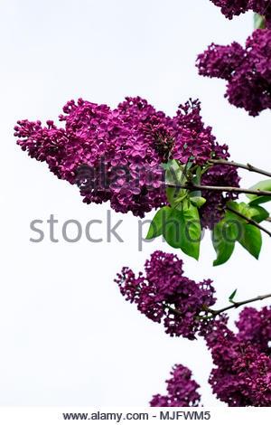 Common purple lilac, Syringa vulgaris - Stock Image