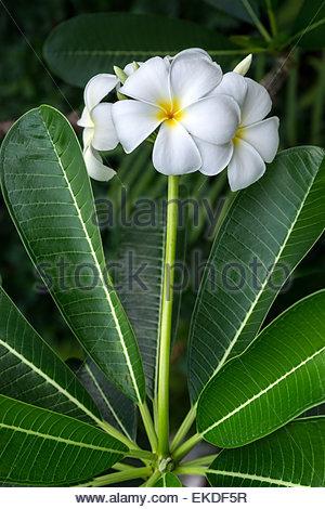 White frangipani flowers - Stock Image