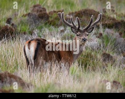 Red Deer (Cervus elaphus) with summer coat on North Uist moorland, Outer Hebrides, Scotland - Stock Image