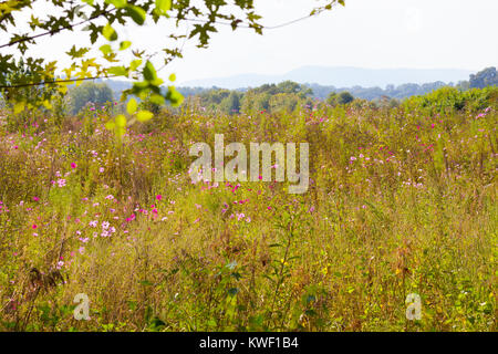 Cosmos flowers blooming in a field at Seven Islands State Birding Park. - Stock Image