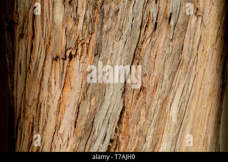 The bark of a tree texture or background top view - Stock Image