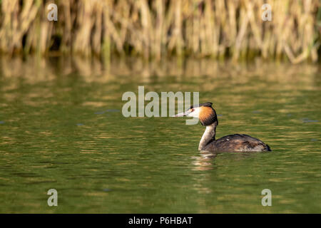 Great Crested Grebe swimming on a lake at sunset - Stock Image