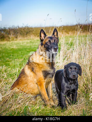 A Belgian Malinoises dog sat in a grass field during a dog training lesson with a young Black labradour puppy - Stock Image