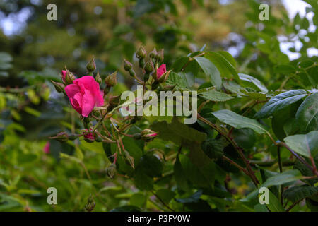Partly opened bright pink single petal rose flower surrounded by unopened buds and green leaves - Stock Image